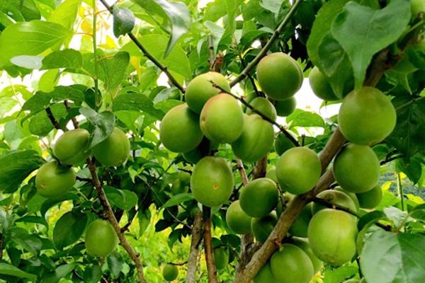 ,無肥料・自然栽培阿波ツクヨミファームの南高梅