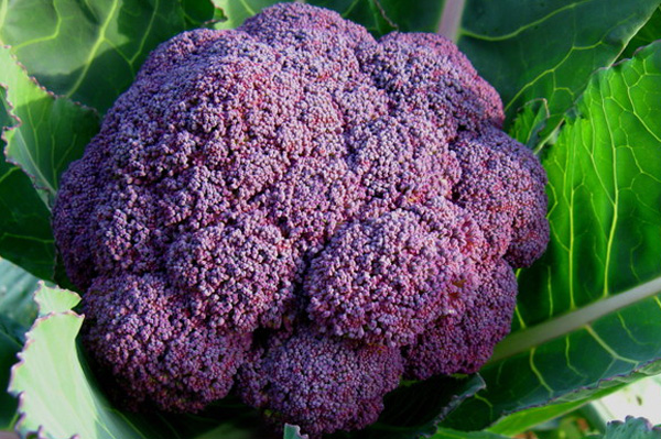 無肥料・自然栽培紫ブロッコリー