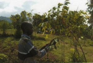 ウガンダコーヒーの栽培
