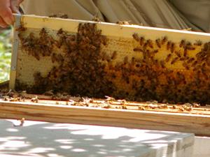 蜜蜂と蜜蓋