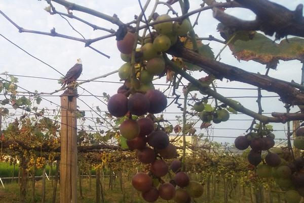 無肥料・自然栽培のかたやま農園の巨峰