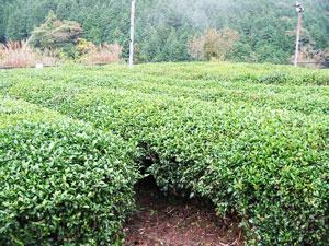 かたぎ古香園の茶畑