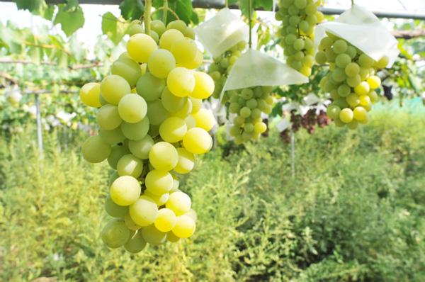 無肥料自然栽培の葡萄「ネオマスカット」