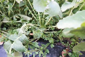 自然栽培の大根