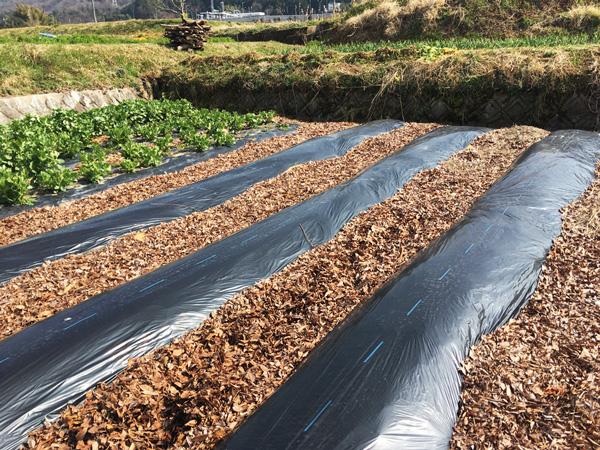 畝と畝の間に敷き詰められた落ち葉