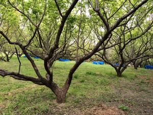 三尾農園の梅畑