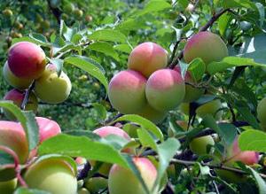 自然栽培の梅