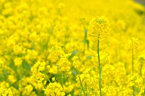 無肥料・自然栽培の菜の花畑