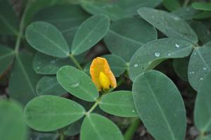 無肥料・自然栽培の落花生