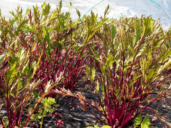 無肥料・自然栽培ポトンファームの赤水菜