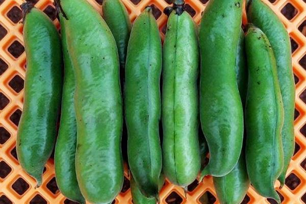 無肥料・自然栽培ポトンファームの赤そら豆