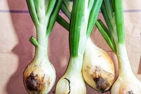無肥料・自然栽培ポトンファームの葉玉ねぎ
