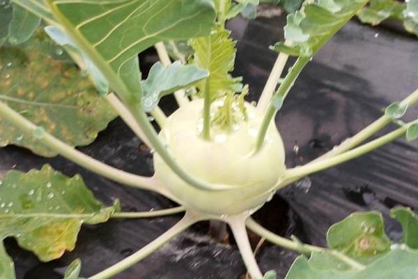 無肥料・自然栽培ポトンファームのコールラビ