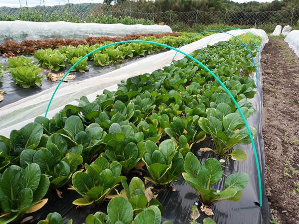 無肥料・自然栽培ポトンファームの小松菜