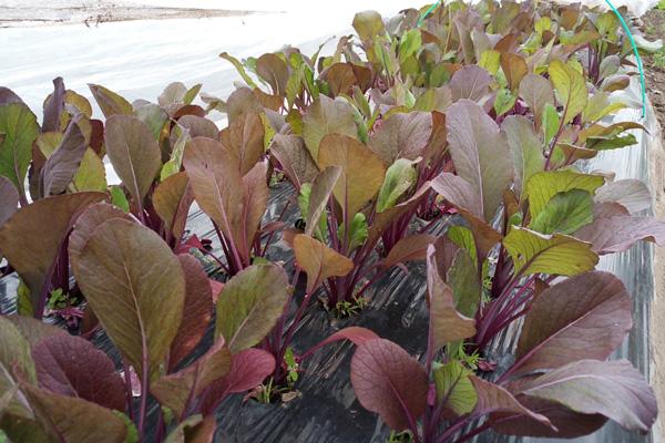 無肥料・自然栽培ポトンファームの紫小松菜