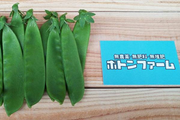 無肥料・自然栽培ポトンファームの大絹サヤ