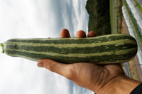 無肥料・自然栽培ポトンファームのズッキーニ