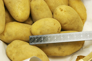 小さいジャガイモもたくさんあります。