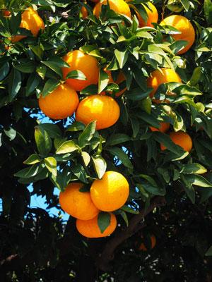 自然栽培の甘夏みかんの樹