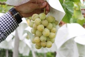 無肥料・自然栽培のシャインマスカット