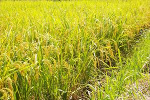 自然栽培ササニシキの田んぼ