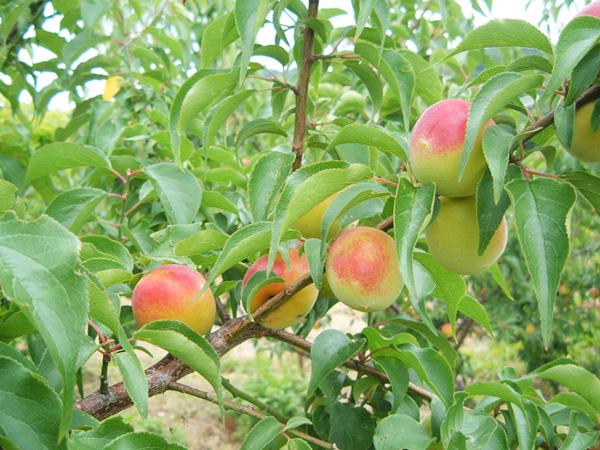 無肥料・自然栽培の梅の里自然農園の南高梅