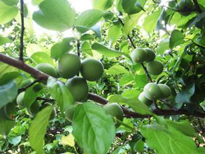 梅の里自然農園の梅畑